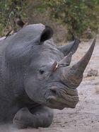 Nashorn mit Madenpicker