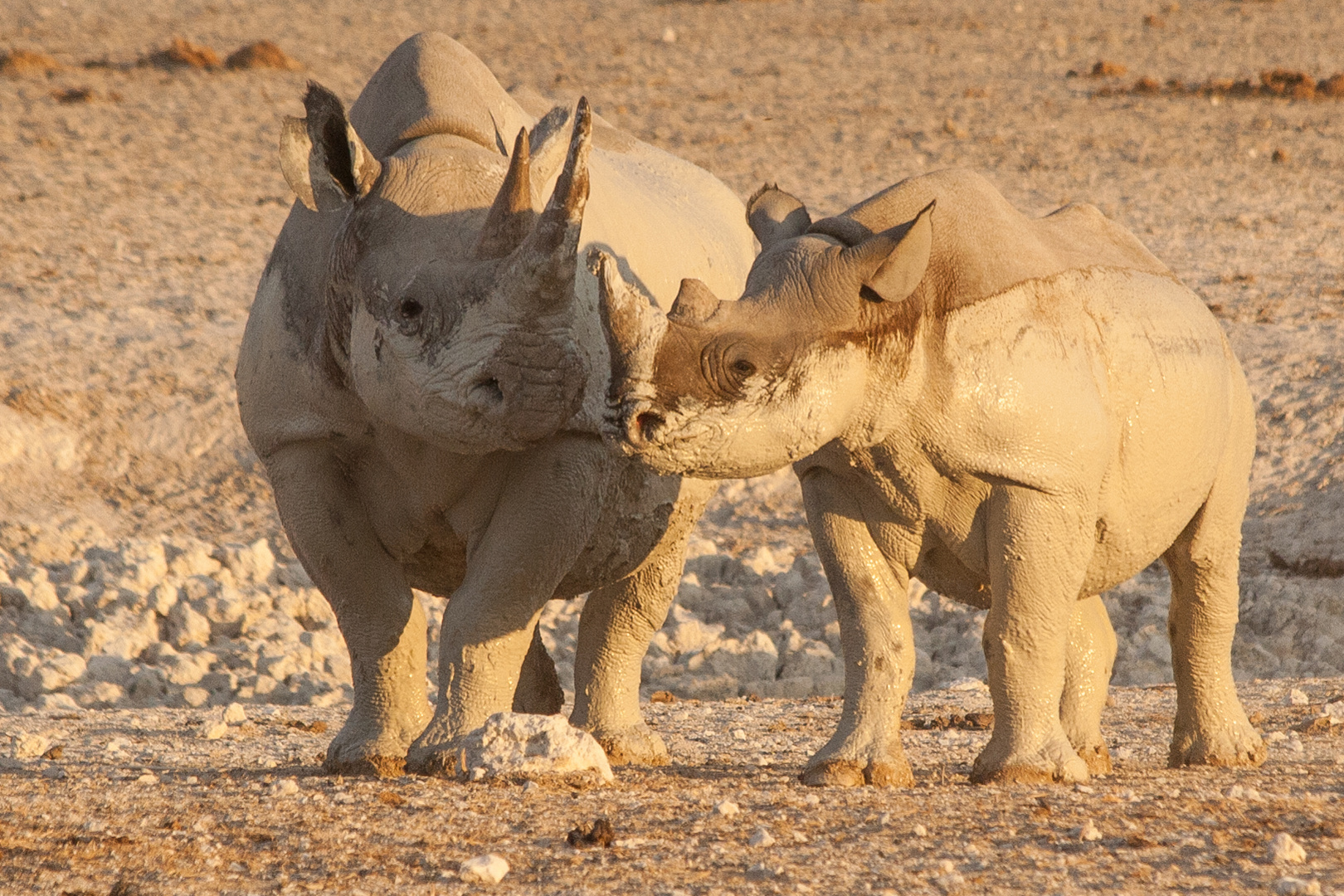 Nashorn-Muter mit Kind