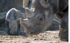 Nashorn-Nachwuchs im Krefelder Zoo -1-