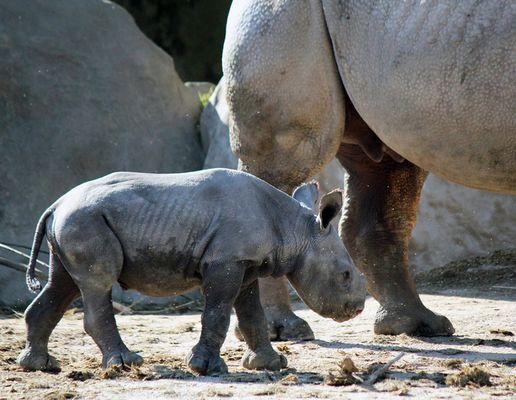 Nashorn-Nachwuchs im Krefelder Zoo -2-