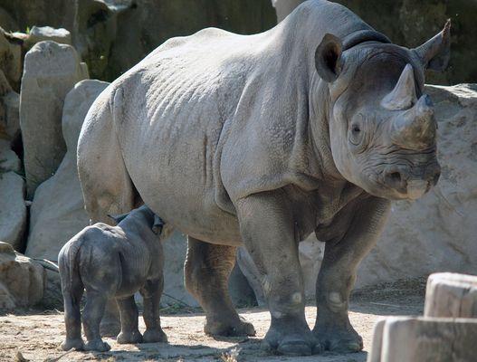 Nashorn-Nachwuchs im Krefelder Zoo -3-
