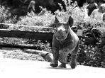 Nashornbaby im Krefelder Zoo