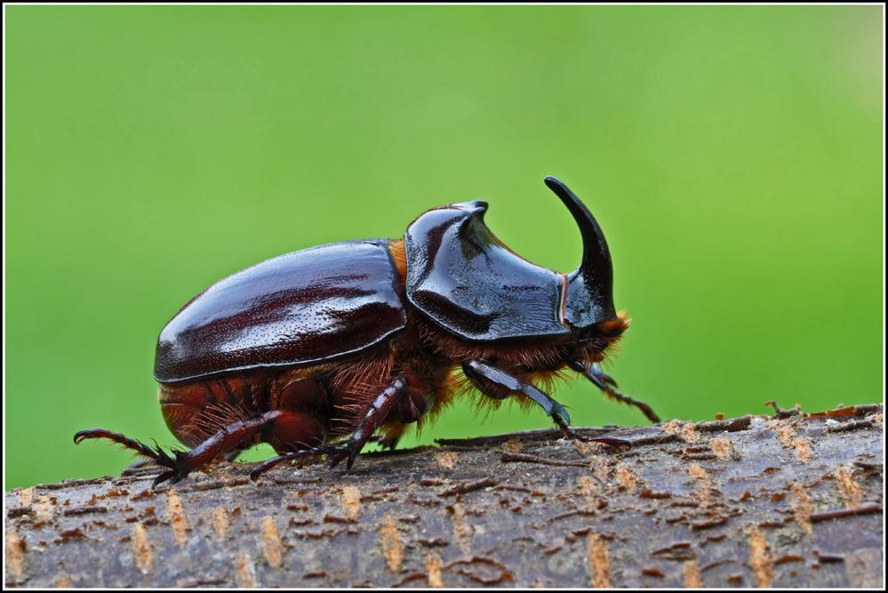 Nashornkäfer Oryctes nasicornis .... Männchen