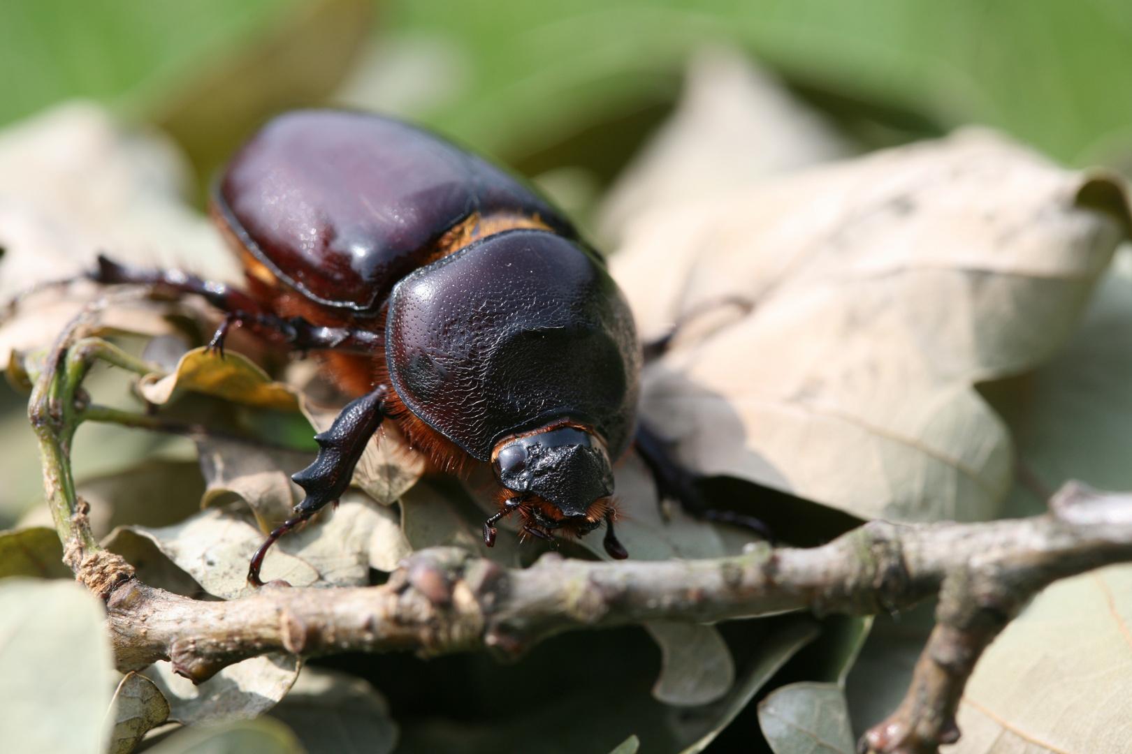 Nashornkäfer-Weibchen