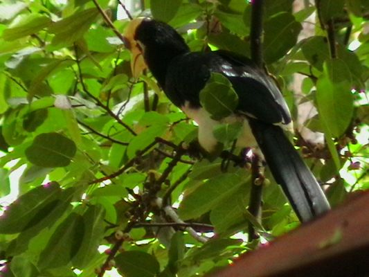 Nashornvogel in freier Natur/Malaysia