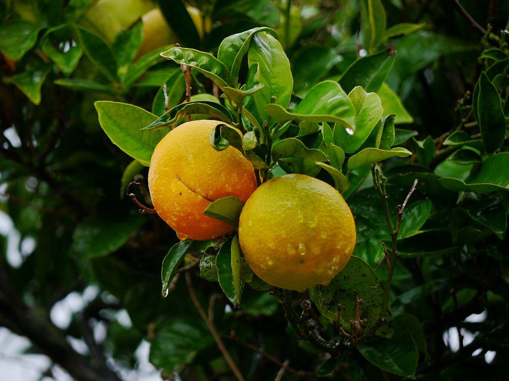 Nasse Orangen