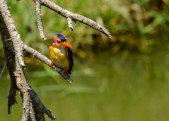 Natalzwergfischer - African pygmy-kingfisher (Ispidina picta) 1