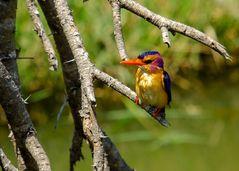 Natalzwergfischer - African pygmy kingfisher (Ispidina picta) 2