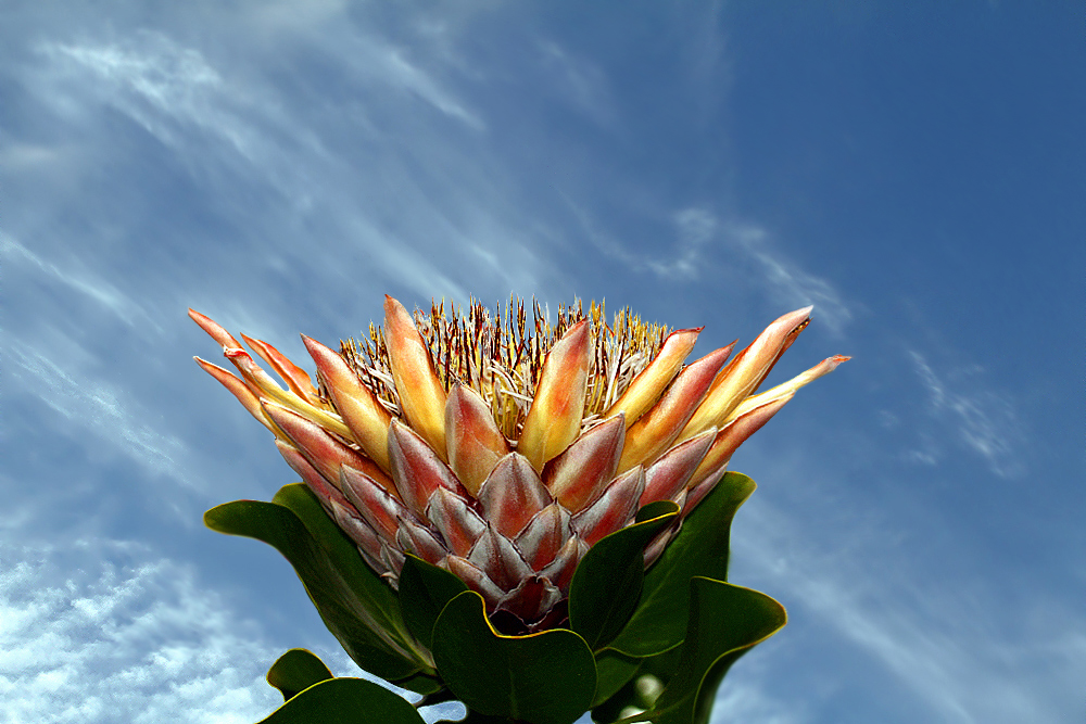 National Flower of Southern Africa