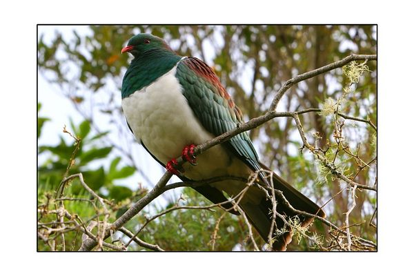 Native New Zealand Wood Pigeon