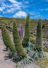 Natternköpfe (*) im hohen Norden der Kanaren-Insel La Palma
