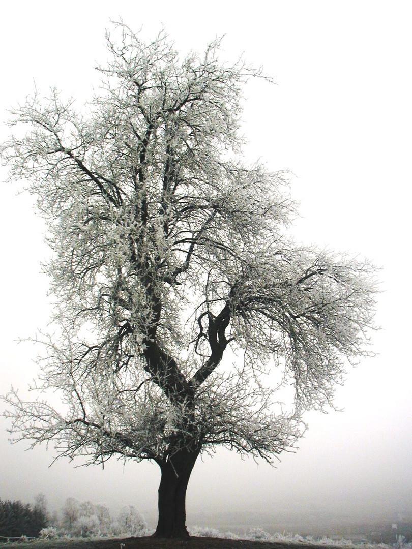 naturdenkmal birnbaum foto bild jahreszeiten winter natur bilder auf fotocommunity. Black Bedroom Furniture Sets. Home Design Ideas