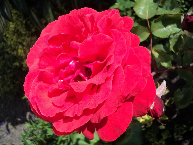 Nature Tattoo Rote Rose