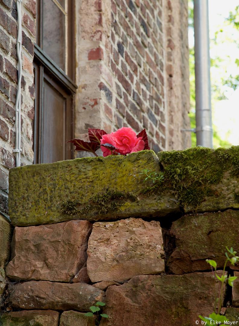 Naturmauer mit Blume