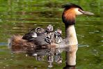 Naturpark Schwalm-Nette | De Wittsee - Haubentaucher mit Jungvögeln