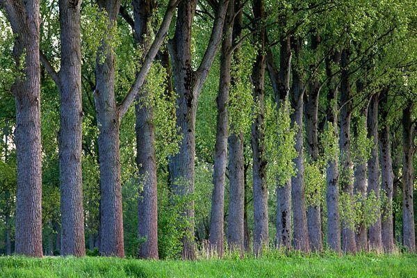 Naturpark Schwalm-Nette | Niersaue - Pappelbäume im Abendlicht