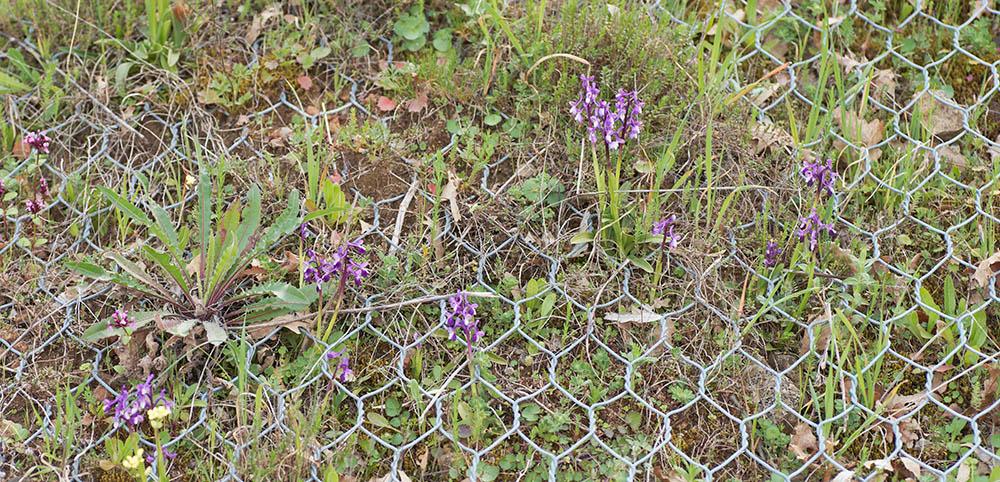 Naturschutz des Langsporniges Knabenkraut (Orchis longicornu) (siehe unten)