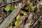 Naturverjüngung auf Moderholz
