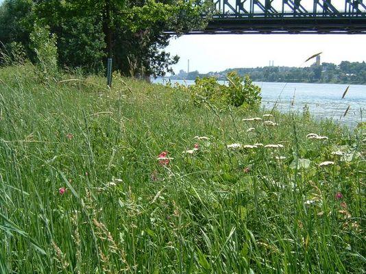 Naturwiese am Rhein ...