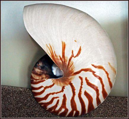 Nautile -- Nautilius Pompilius -- Perlboot