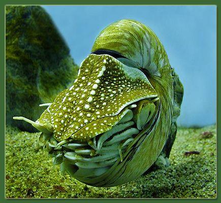 Nautilus Pompilus