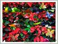 Navidad 2008 / Un toque de color y alegría para este año tan ... especial. de Miguel-Angel Ramón maramon