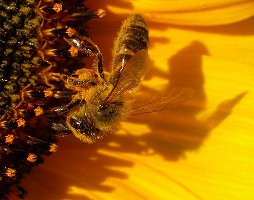 Ncoh ein Bienchen! (auf Sonnenblume)