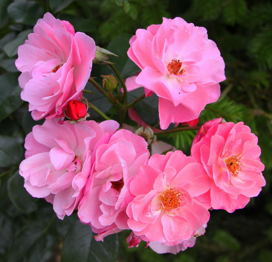 -NDR-Niedersachsen Rose in unserem Garten-
