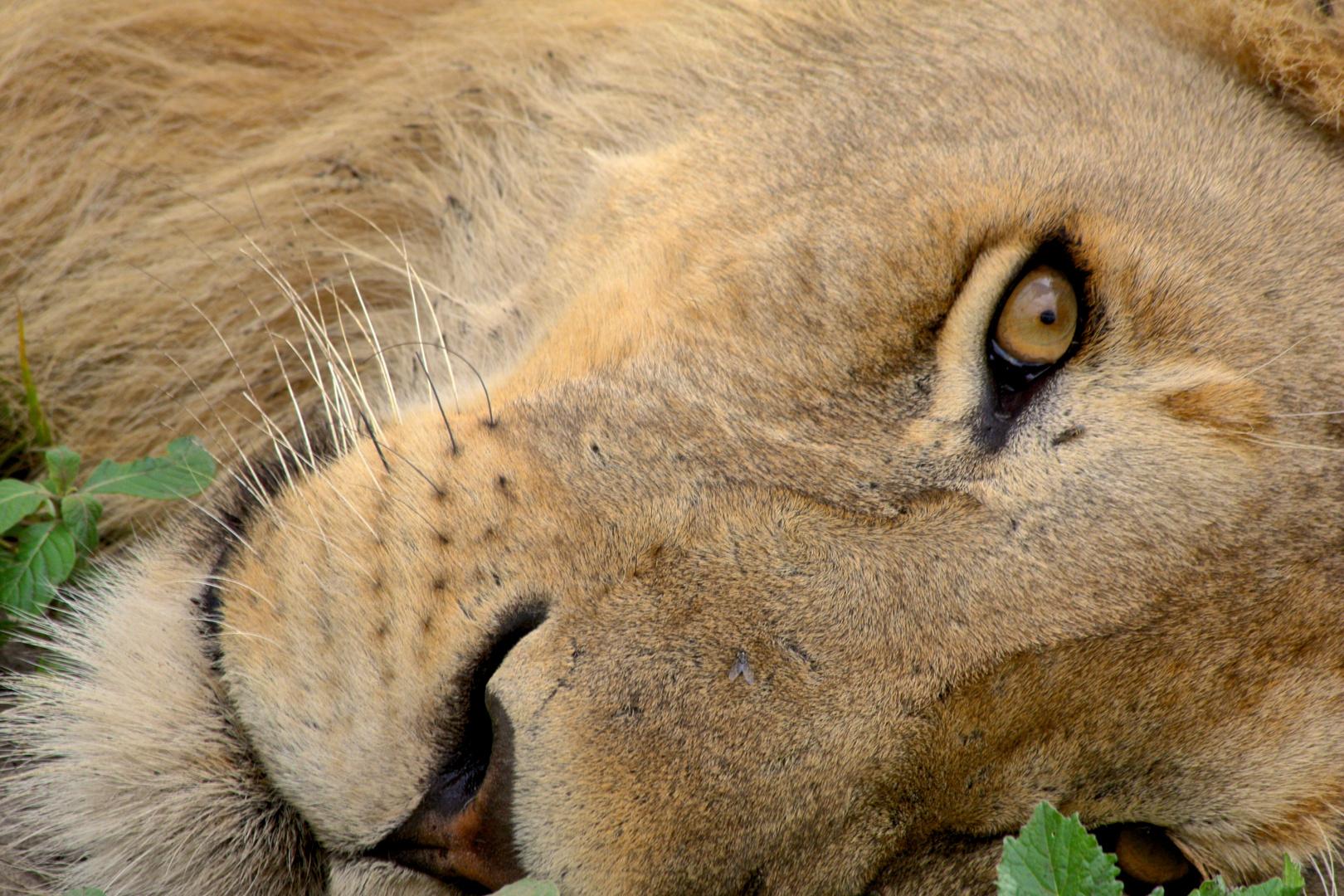 Ndutu Tanzania , Schau mir in die Augen kleines