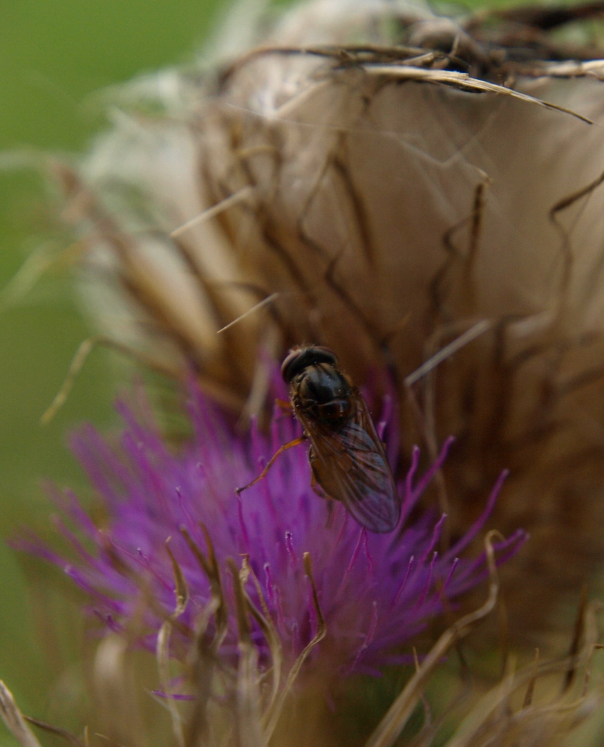 Ne Fliege besucht ne Distel