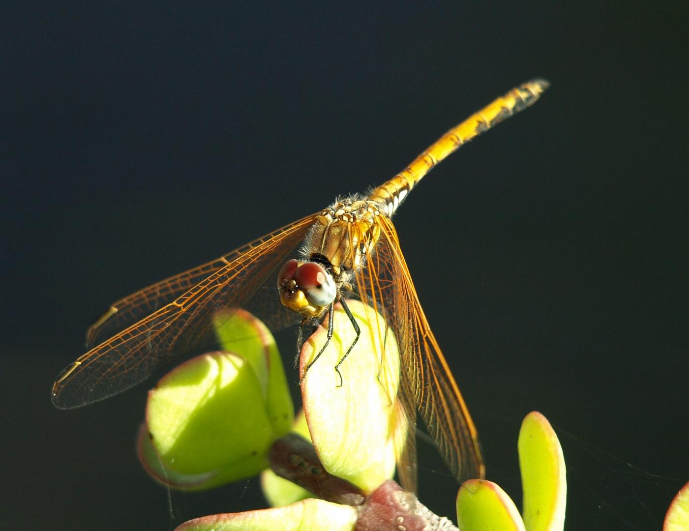 ne kleine Libelle