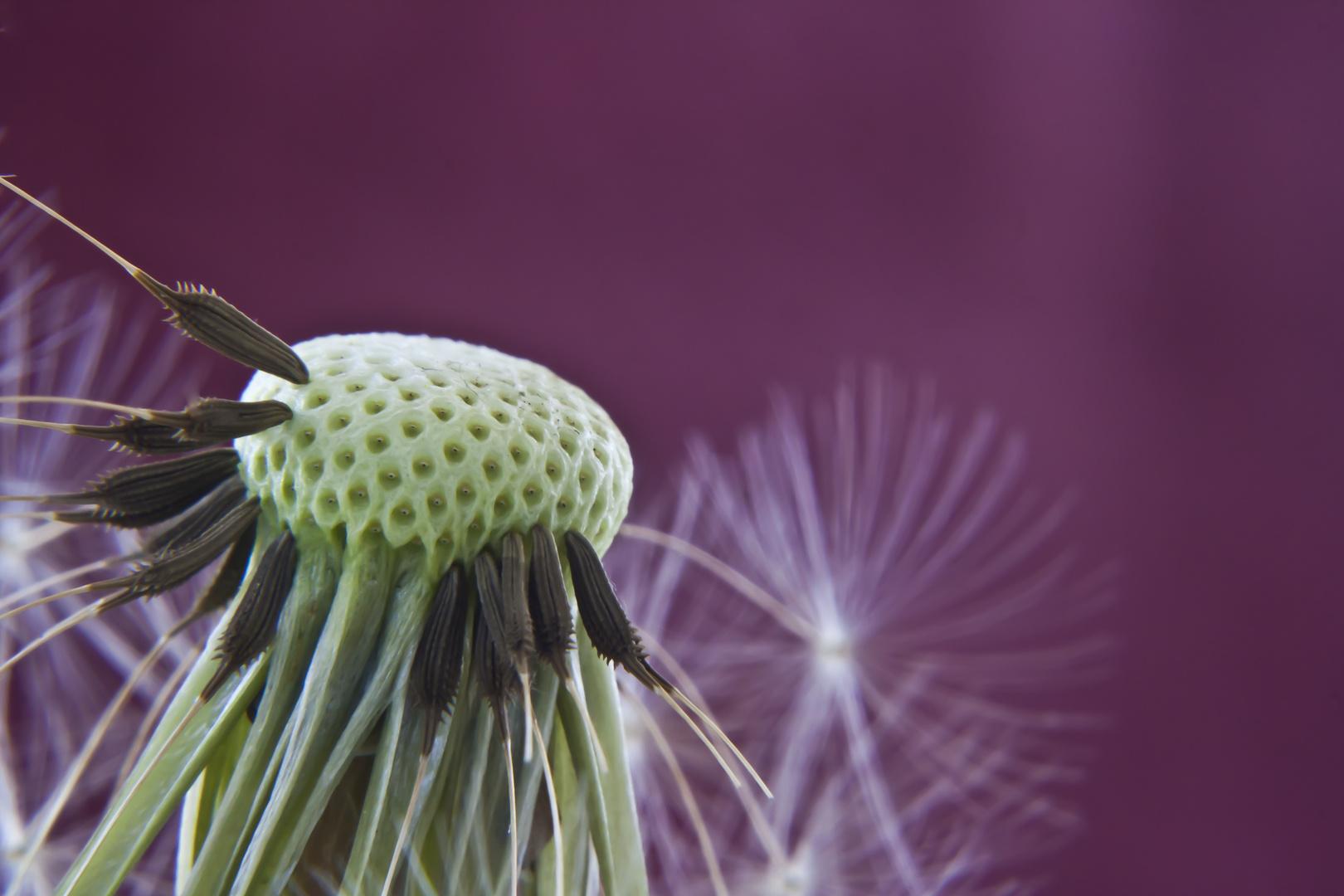 ne pusteblume foto bild pflanzen pilze flechten bl ten kleinpflanzen l wenzahn. Black Bedroom Furniture Sets. Home Design Ideas