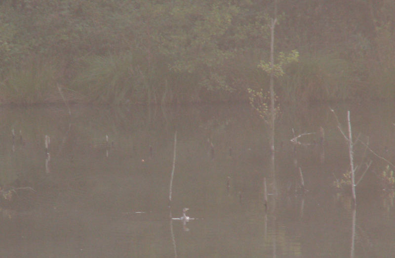 Nebel am See mit Graureier