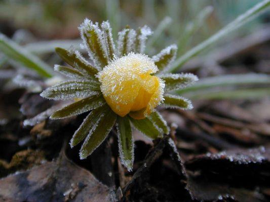 Nebel, gefroren auf einer Blüte des Winterlings