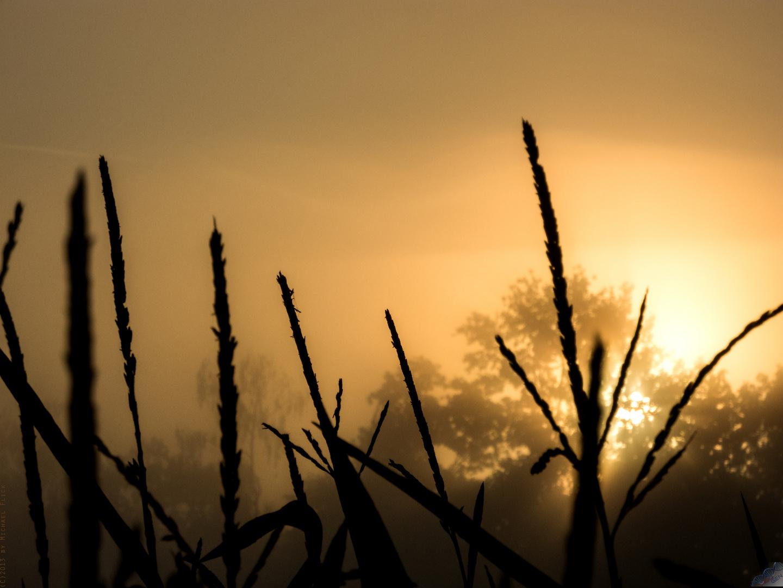 Nebel in den Weiden