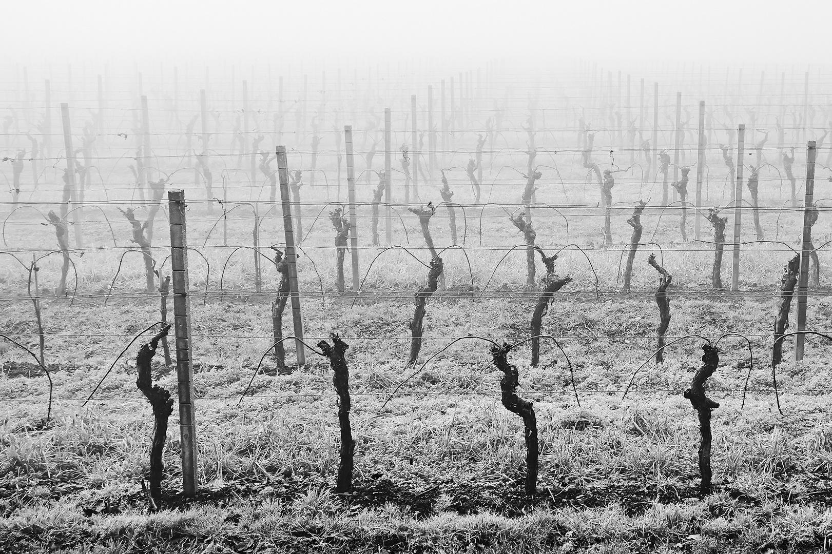 Nebel in den Weinbergen