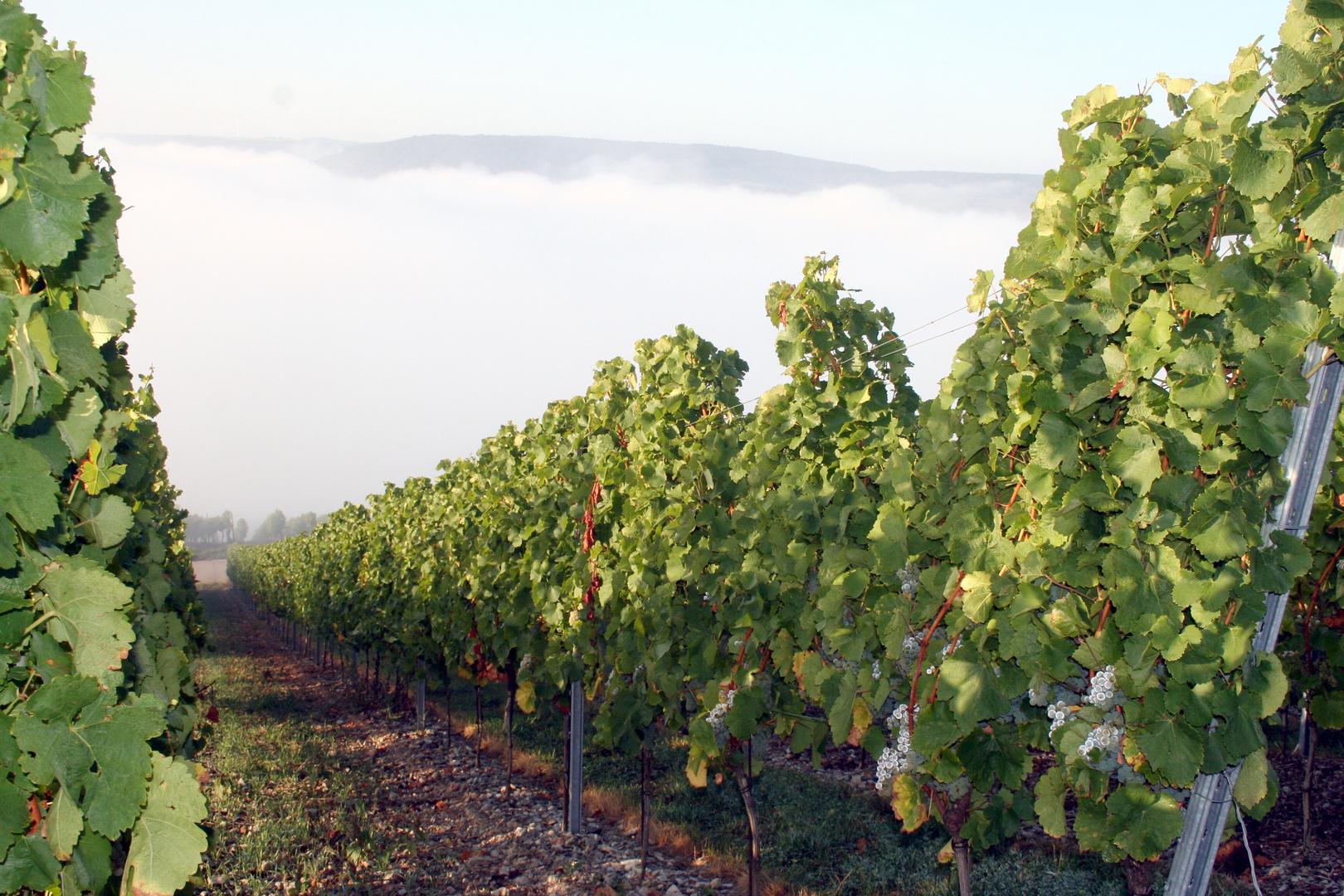 Nebel in den Weinbergen über dem Maintal