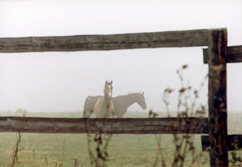 Nebel mit Pferden