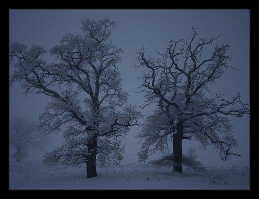 Nebelbäume (4)