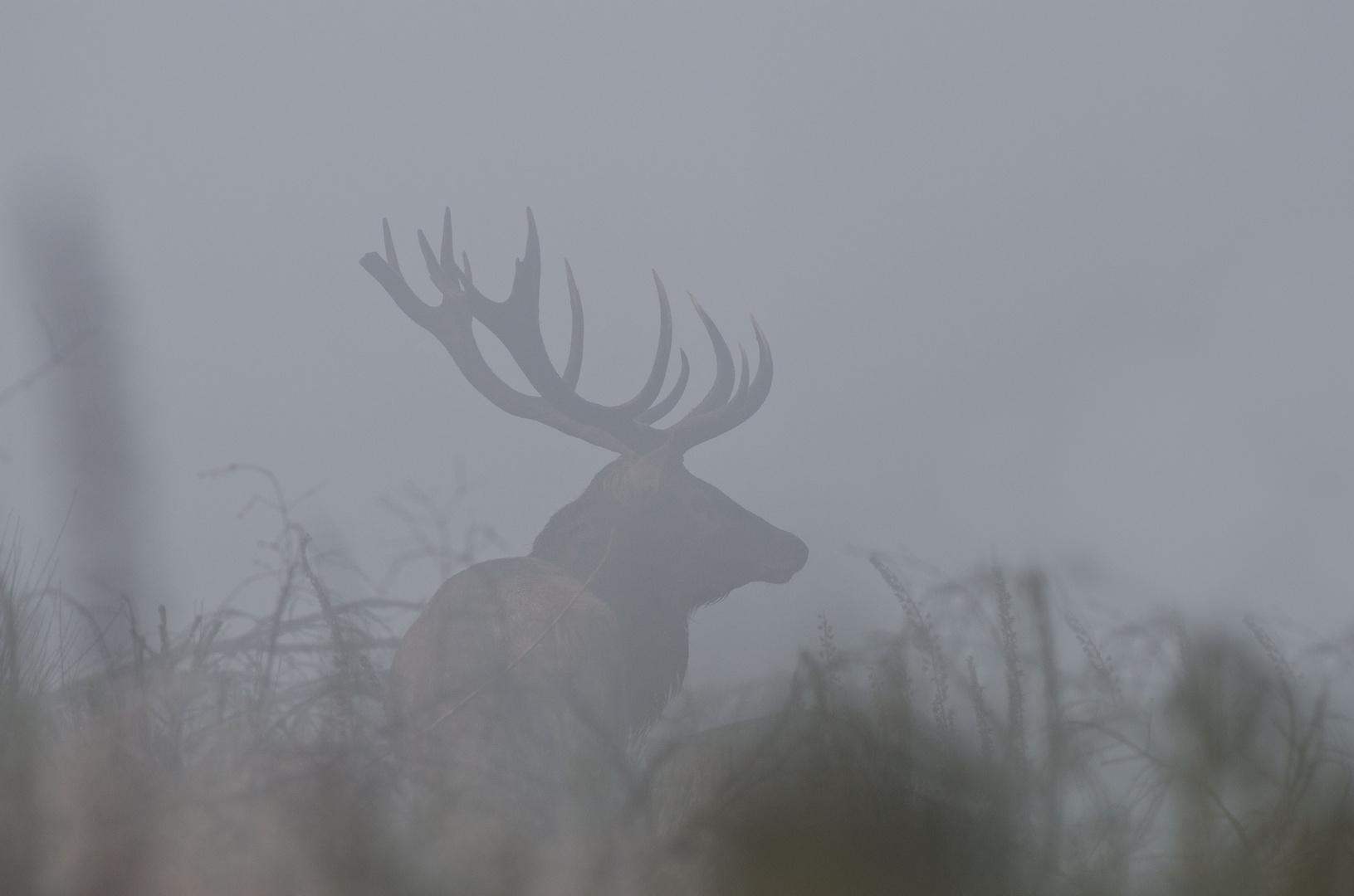Nebelhirsch zur Brunftzeit