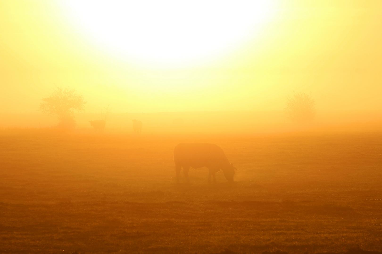 Nebelige Sonnenaufgangskuh