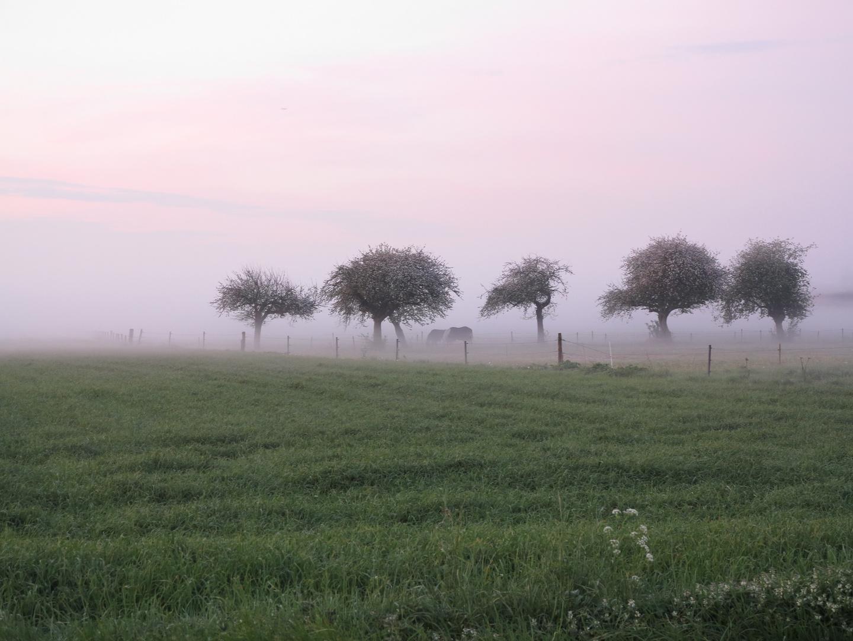 Nebelkühe - fast myttig