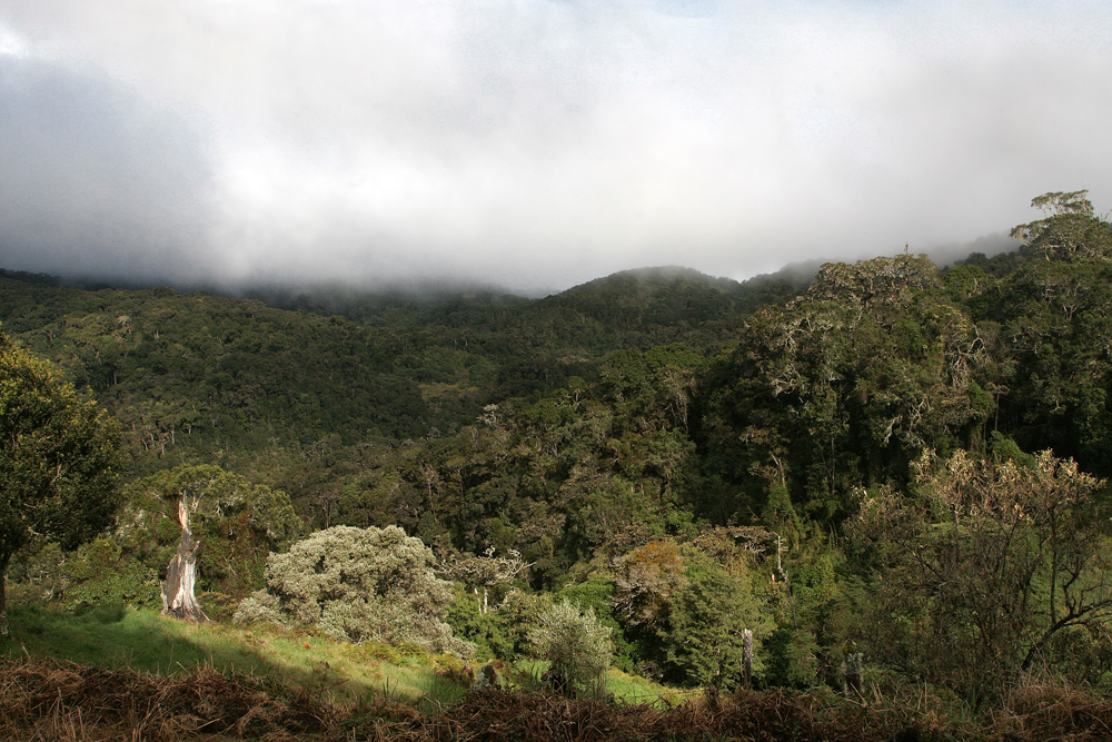 Nebelwälder