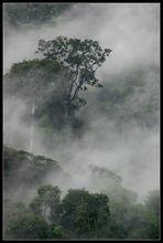Nebelwald II, Bwindi Nationalpark, Uganda