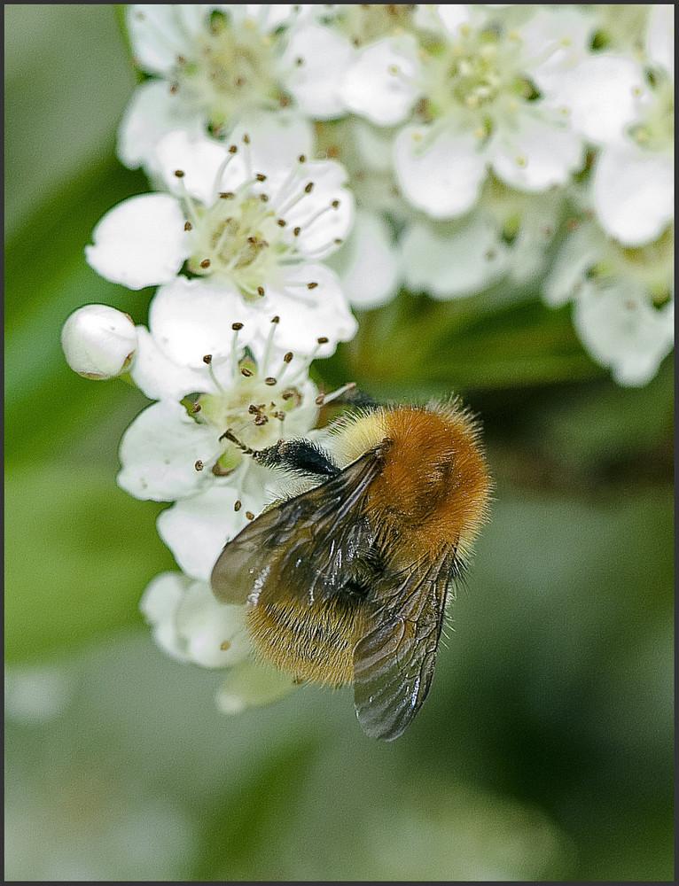Nectar de Espino