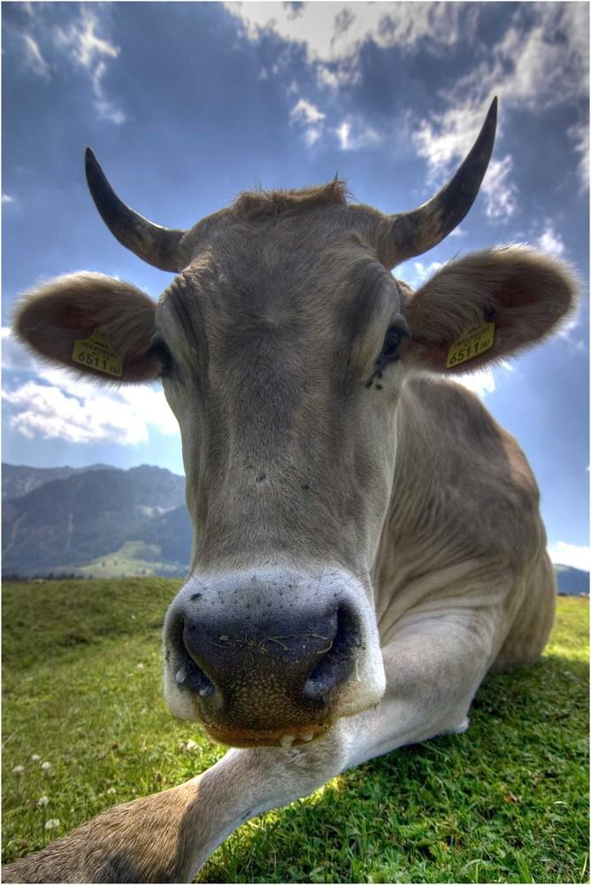 Nee, Kühe sind nicht lila...
