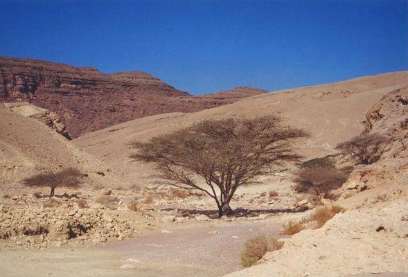 Negev-Impressionen: Baum