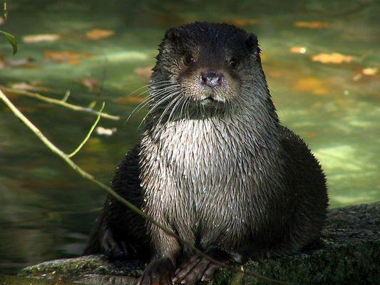 Nein, ich habe keinen Fisch, Otter