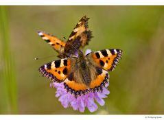Nektarquelle für Schmetterlinge