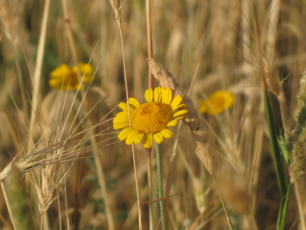 ...nel campo di grano